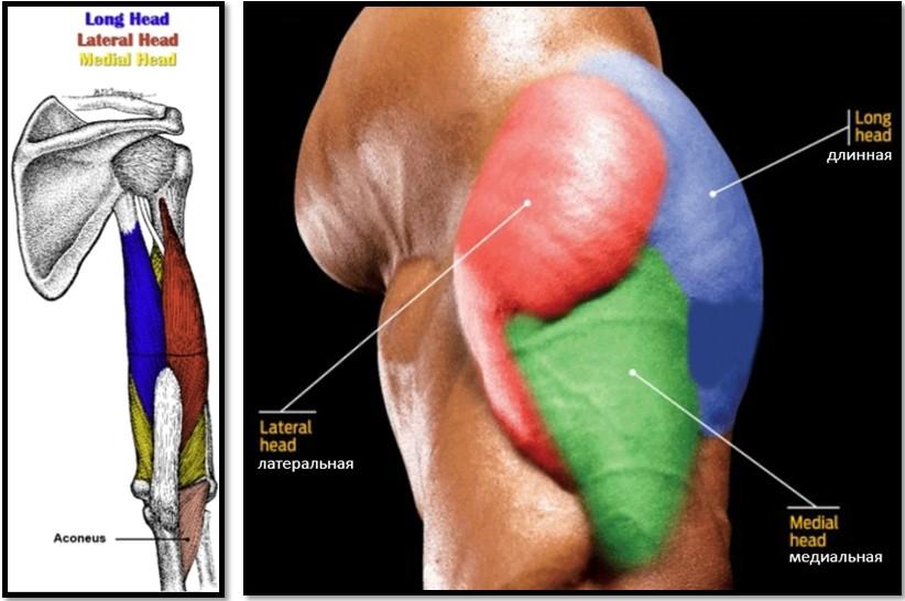 Трицепс называется трехглавой мышцей неспроста