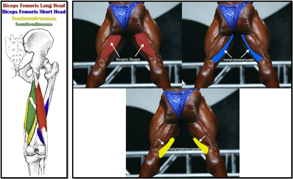 анатомия мышц задней поверхности бедра