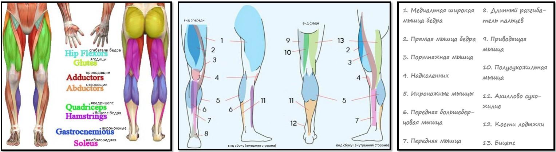 Большинство мышц ног это
