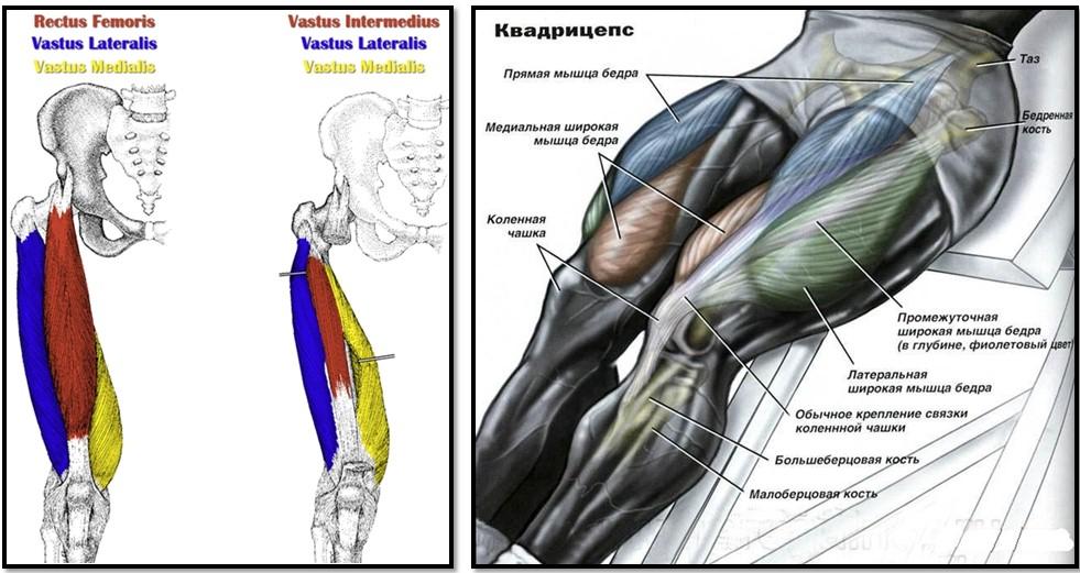 анатомия квадрицепса