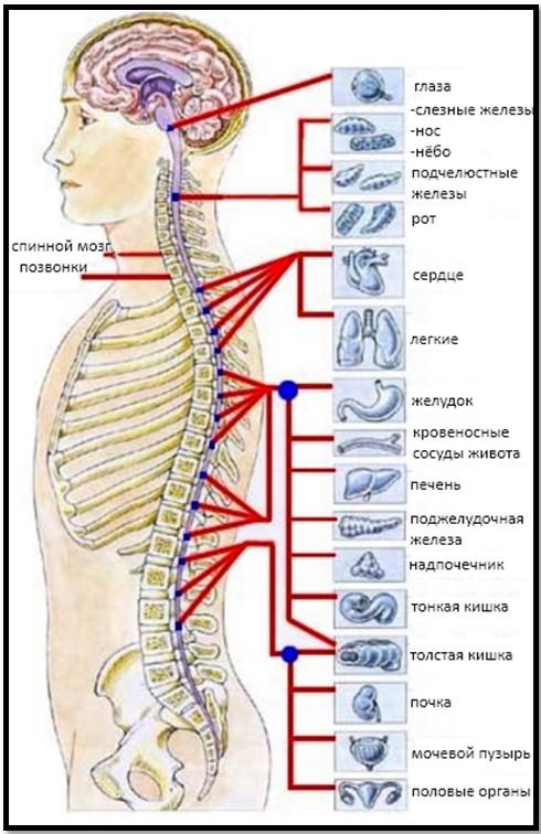 позвоночник и внутренние органы, связь