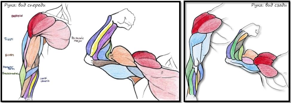 Полная анатомия мышц рук