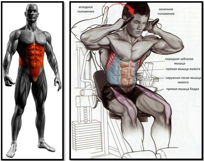 Скручивания сидя полный мышечный атлас