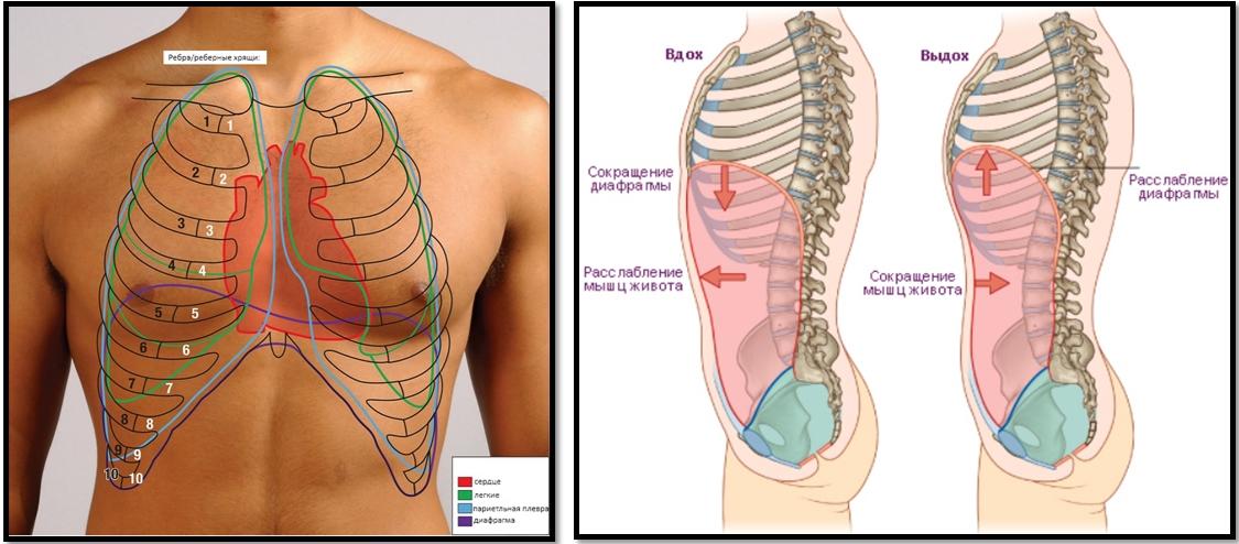 Диафрагма: механизм дыхания