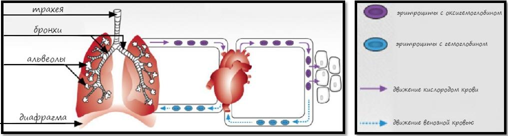 Процесс дыхания, схема