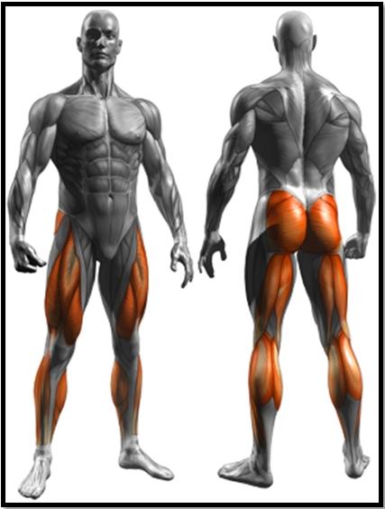 Приседания со штангой за спиной: полный мышечный атлас