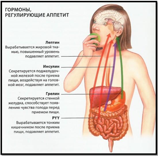 какие гормоны вырабатывает головной мозг нашего ателье