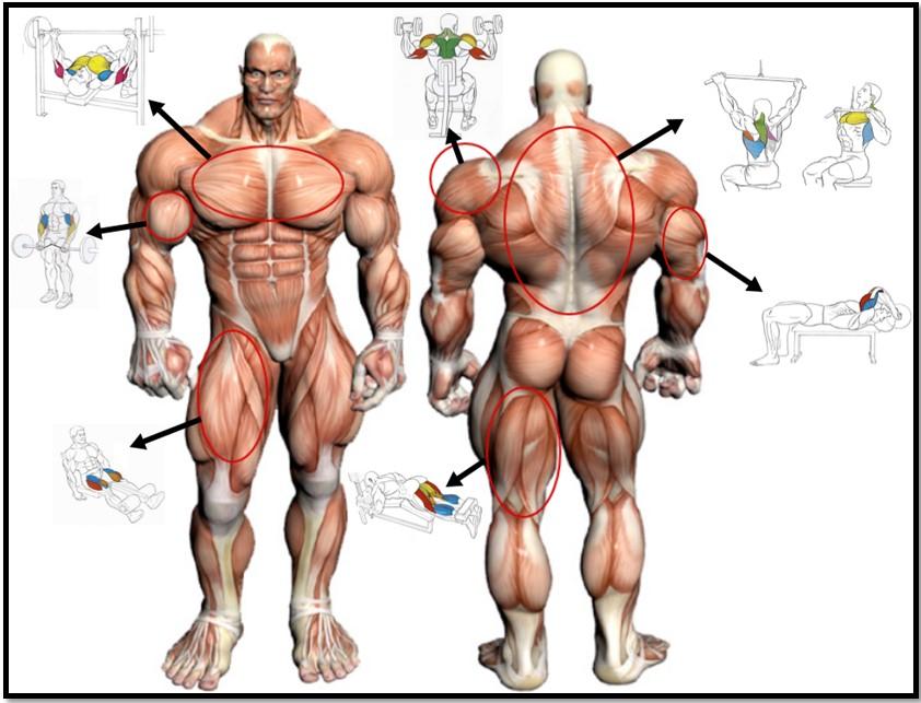 Тест на соотношение мышечных волокон упражнения