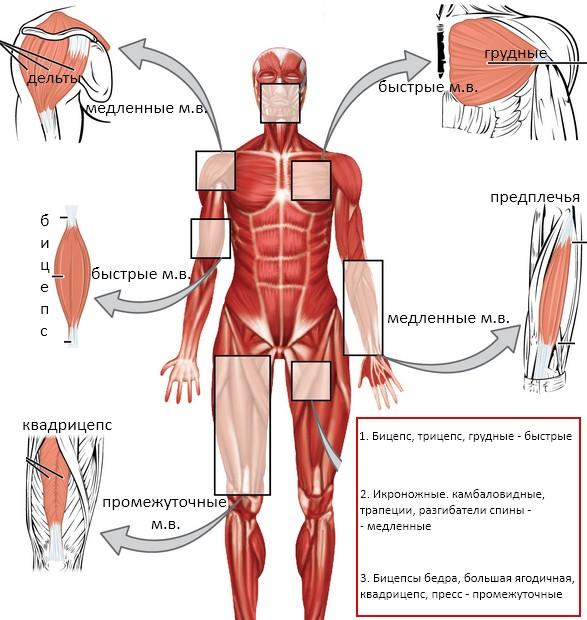 Типы мышечных волокон по мышечным группам
