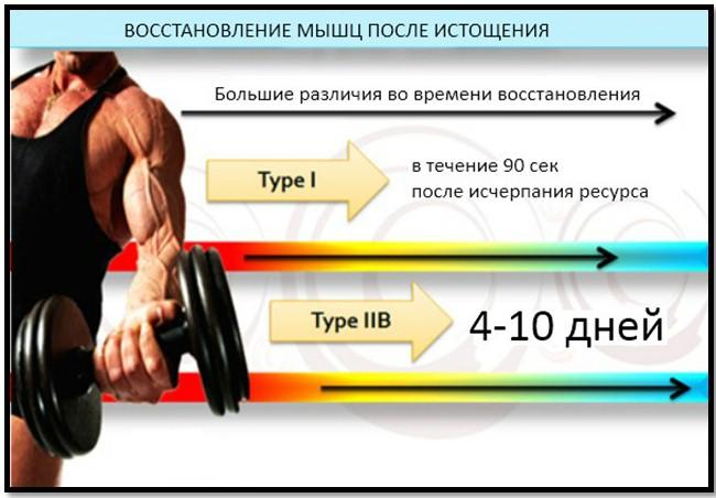 Время восстановления разных типов мышечных волокон