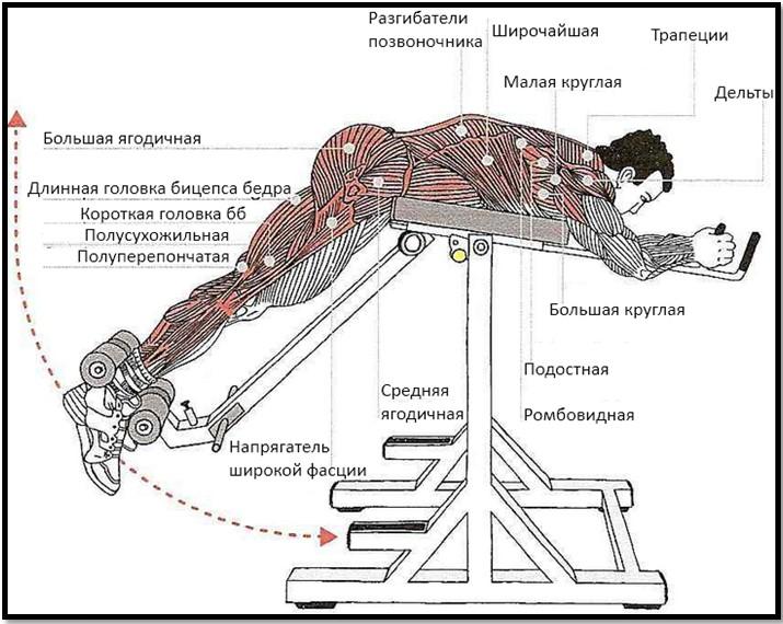 Обратная гиперэкстензия мышцы в работе