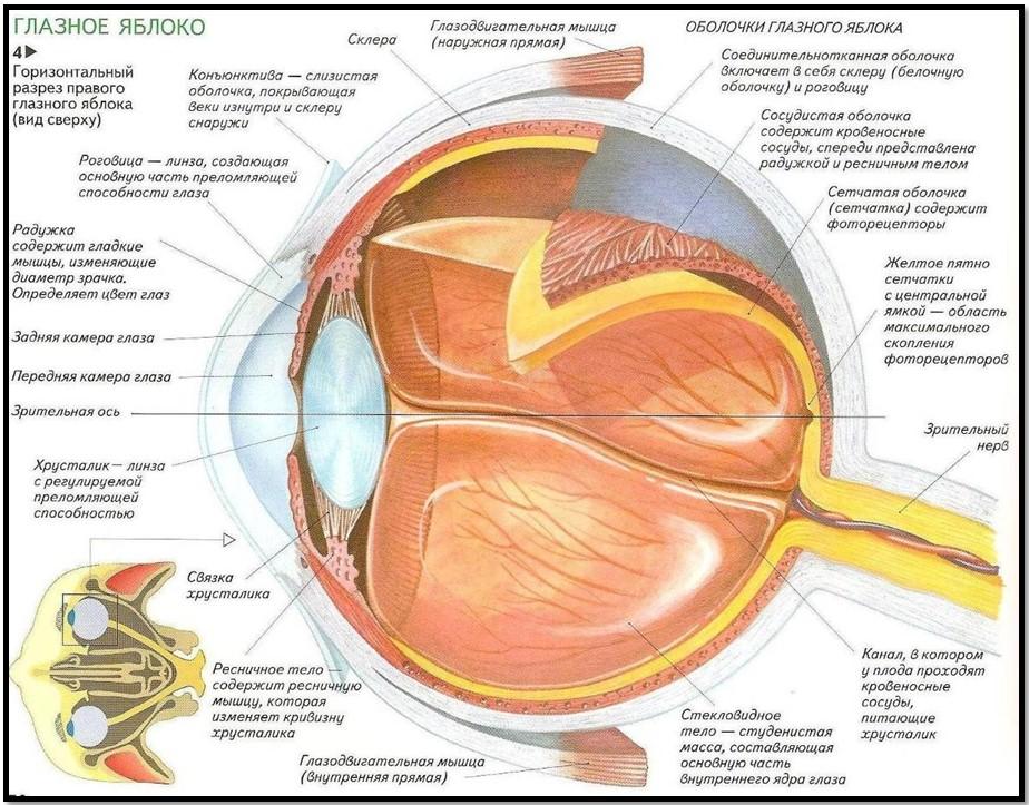 Структура строение глаза