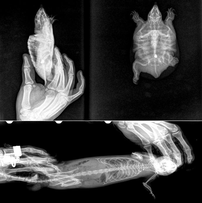 рентгена собаки с барием