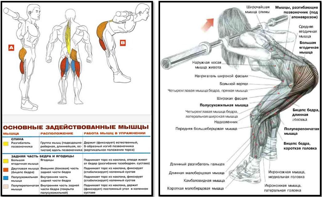 Наклоны со штангой на плечах мышцы в работе