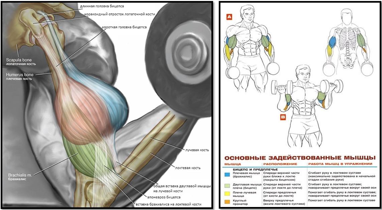 Подъем гантелей на бицепс мышцы в работе