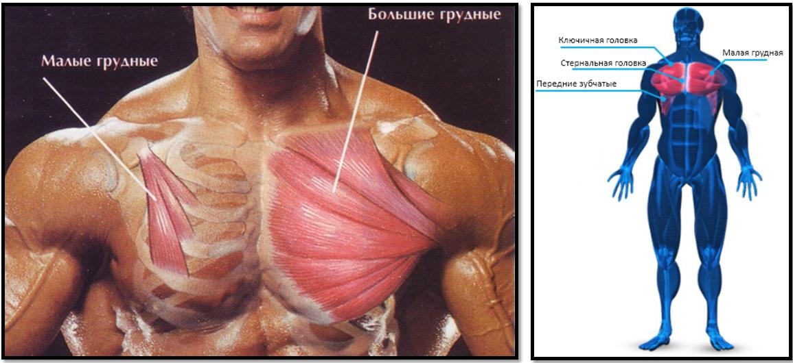Малая и большая грудные мышцы в разрезе