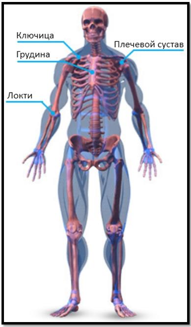Скелетная анатомия грудных мышц