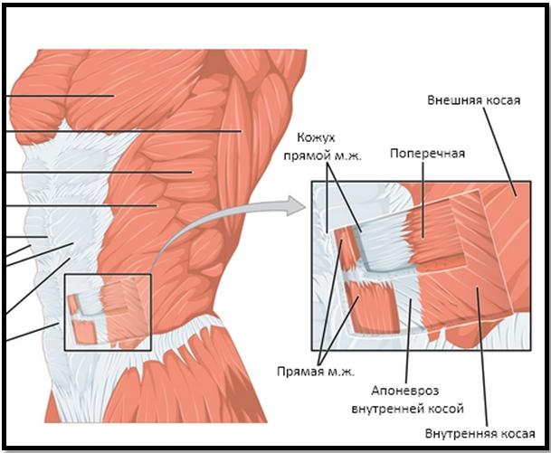 Мышцы пресса срез, волокна разной направленности