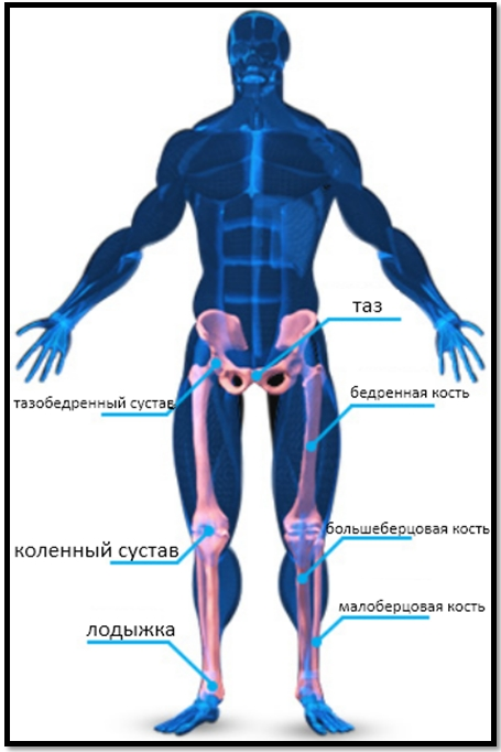Скелетная анатомия ног