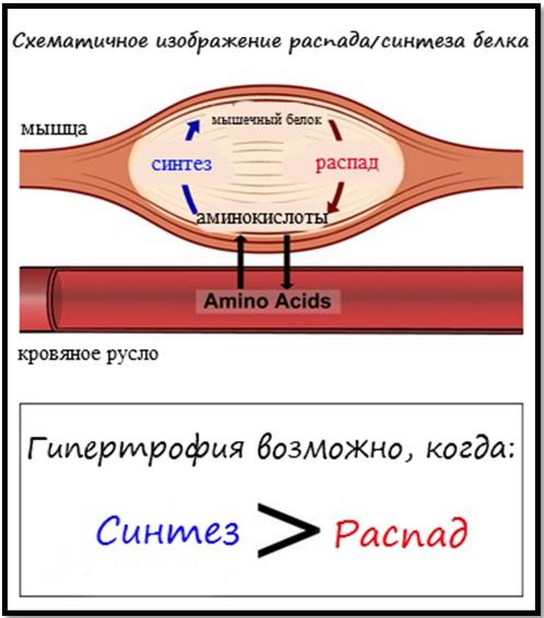 Процесс распада и синтеза белка