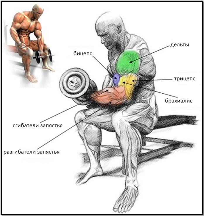 Концентрированный подъем на бицепс мышцы в работе