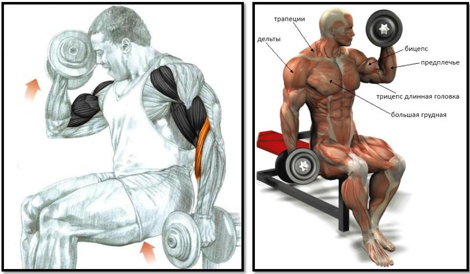 Подъем гантелей на бицепс сидя мышцы в работе