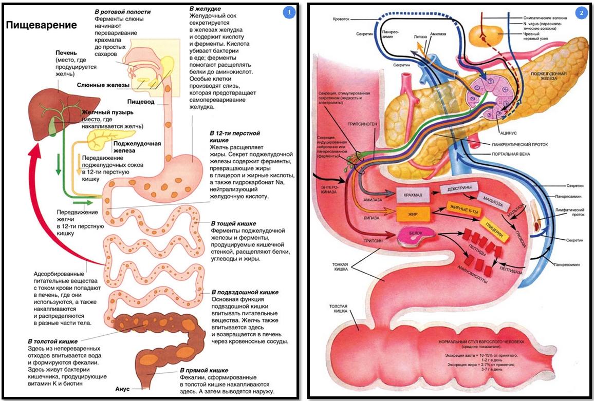 Процесс пищеварения схема