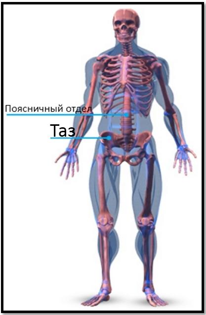 Скелетная анатомия, пресс