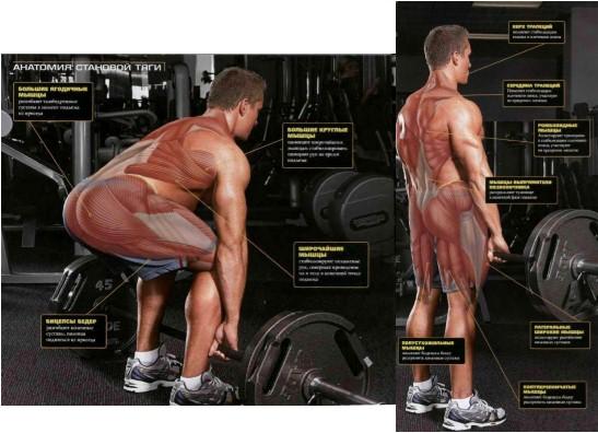 Становая тяга, анатомия