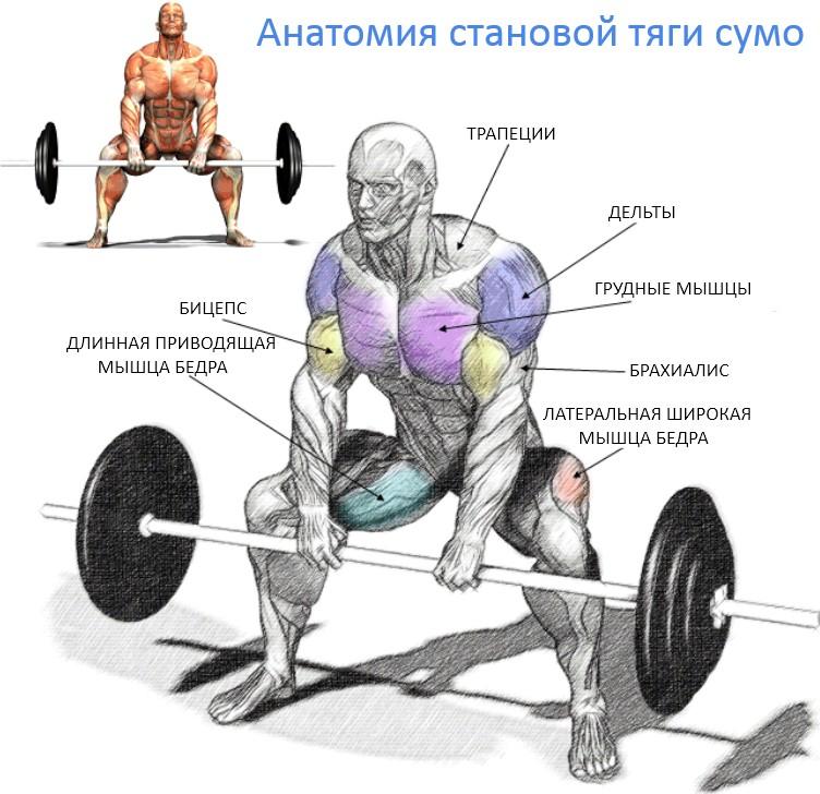 Становая тяга сумо, мышцы в упражнении