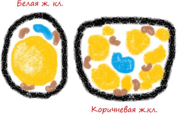 белая и коричневая жировая клетки