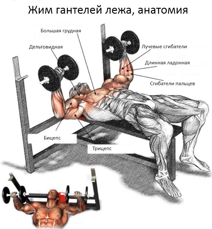 Жим гантелей лежа, мышцы в упражнении