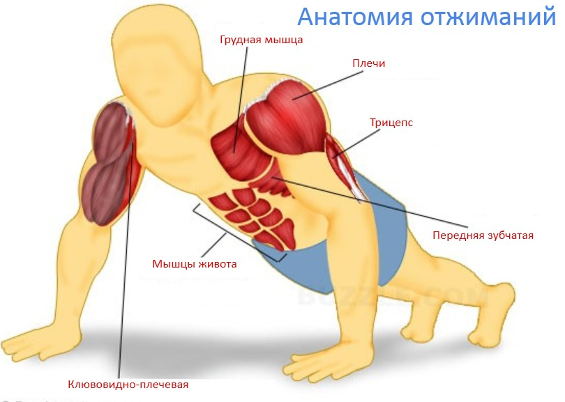 отжимания, мышцы