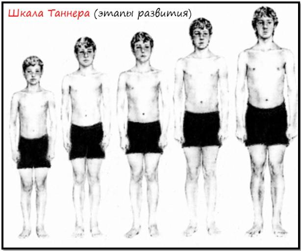 этапы развития Таннера