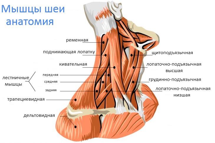 мышцы шеи, анатомия