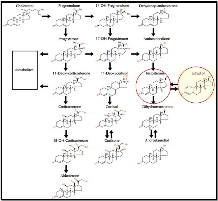 производство эстрогена