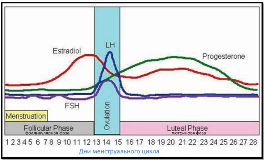 менструальный цикл и уровень эстрогена