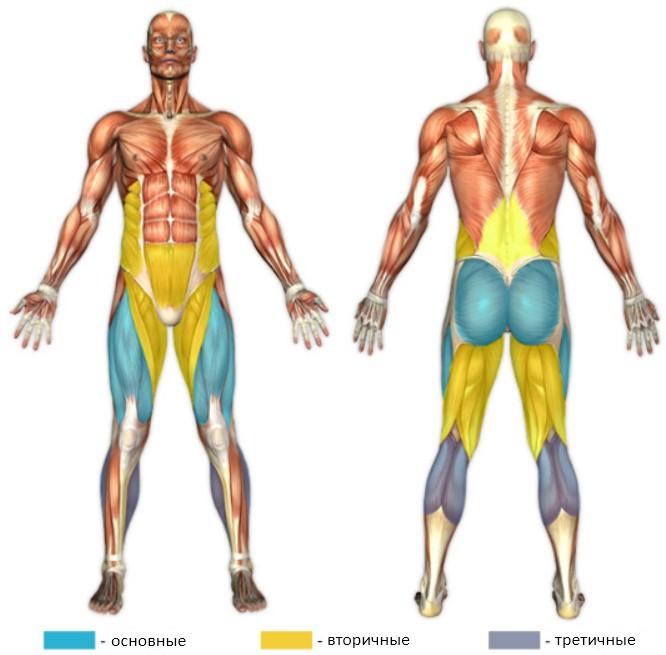 фронтальные приседания, мышцы в работе