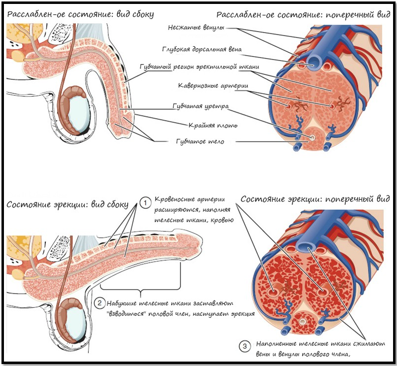 физиология эрекции мужчины