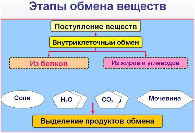 Метаболизм базальный