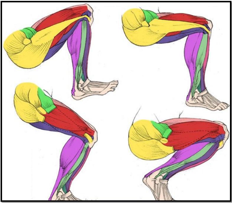 Приседания на одной ноге, мышцы в работе