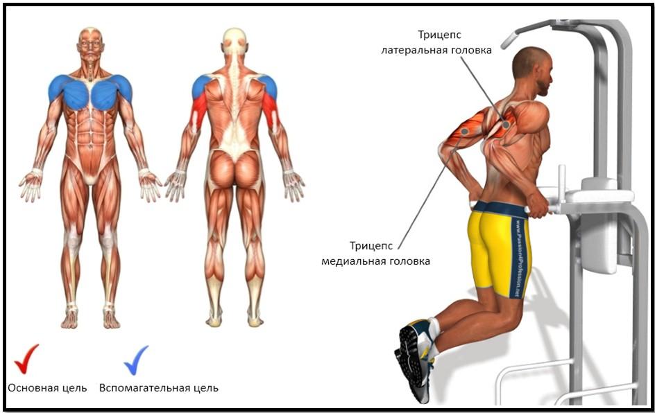 отжимания на брусьях, мышцы