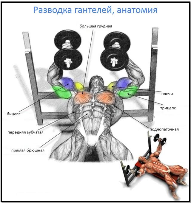 разводка гантелей лежа, мышцы