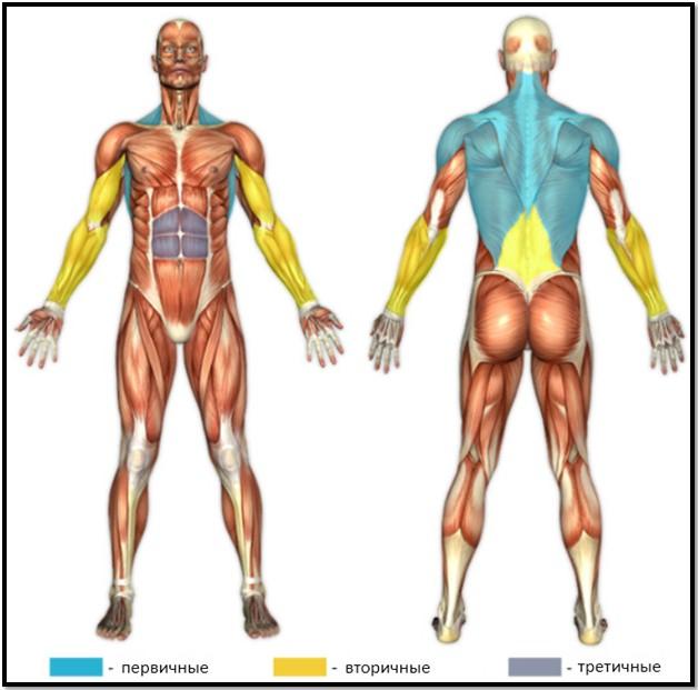 тяга штанги в наклоне, мышцы в работе