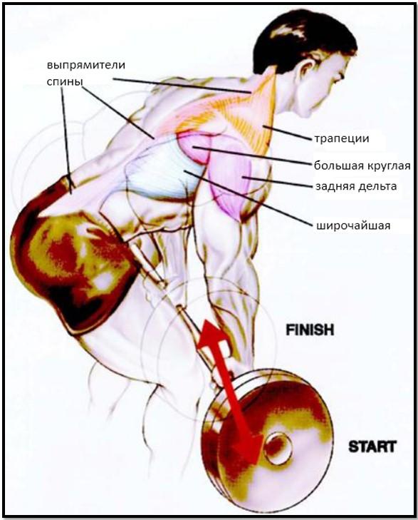 тяга штанги в наклоне, мышцы в движении