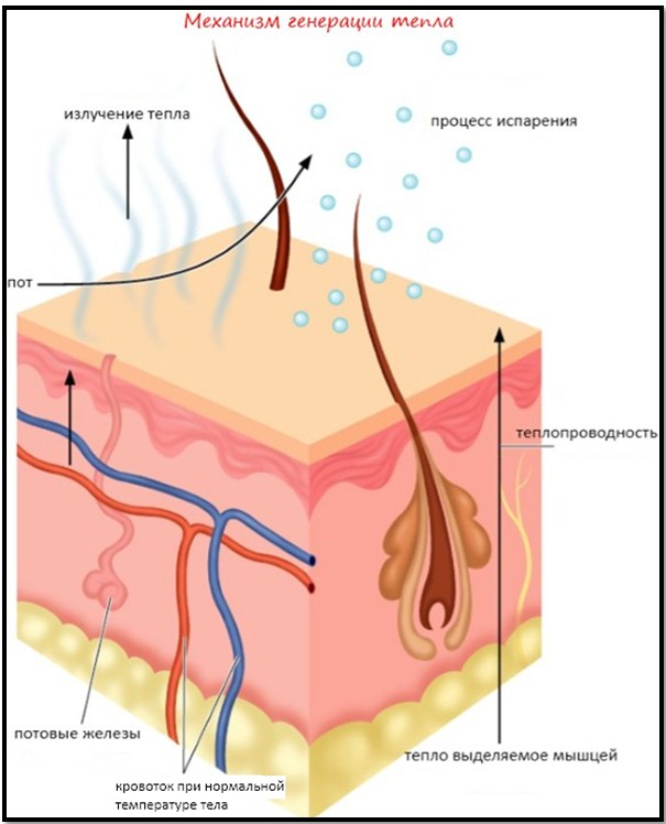 механизм образования пота