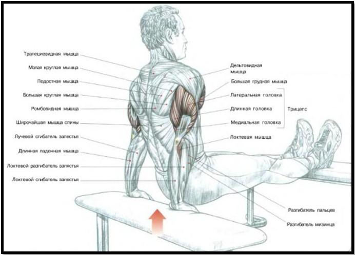 обратные отжимания, мышцы в работе