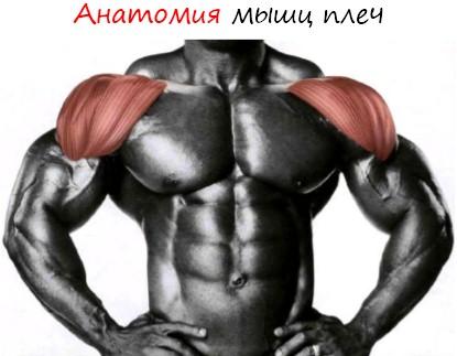 анатомия мышц плеч