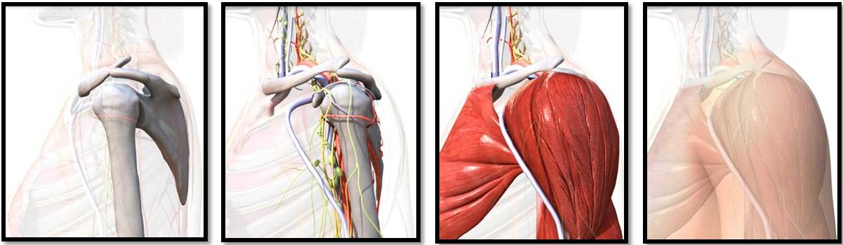 анатомия мышц плеч, 2