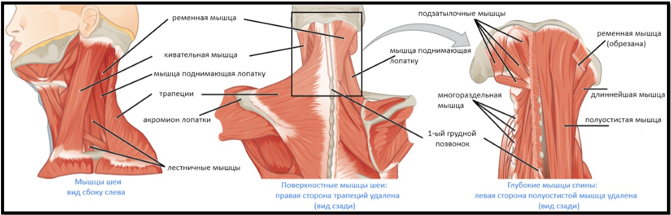 От чего болят от шей до плеча